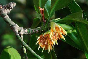 Loài cây duy nhất ở Việt Nam có khả năng đặc biệt: Sinh và nuôi 'con'