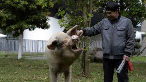 Những ngày cuối của chú lợn nổi tiếng nhất Trung Quốc