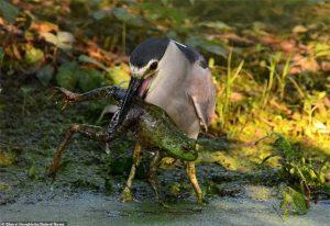 Chú chim tham lam nuốt sống con ếch nhưng mắc nghẹn vì quá to