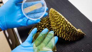 Độc đáo: Nghiên cứu sản xuất băng dán vết thương từ vỏ sầu riêng