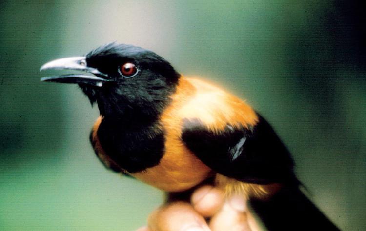 Loài chim duy nhất trên thế giới có độc, chạm vào lông cũng có thể mất mạng