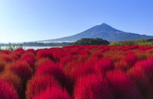 Đồi cỏ đỏ rực dưới chân núi Phú Sĩ