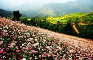 Hà Giang: Mùa hoa tam giác mạch say đắm lòng người